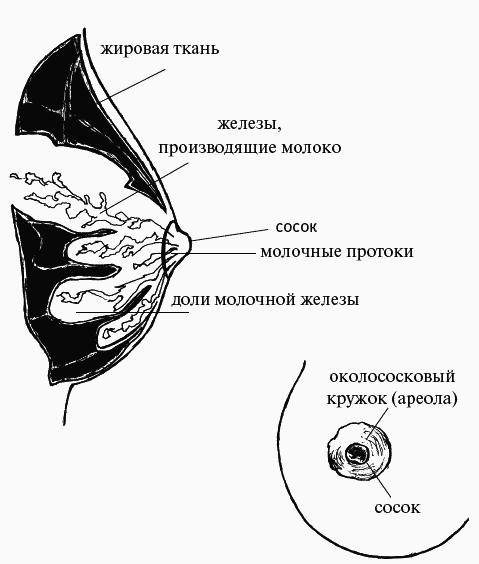 pochemu-soski-stali-bolshe