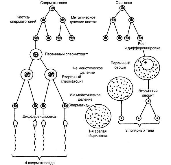 spermatogenez-harakteristika-protsessa-v-tsitologii