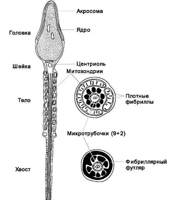 когда заканчивается процесс образования спермы-бе2