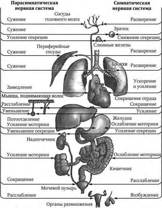 Гипергидроз нервная система